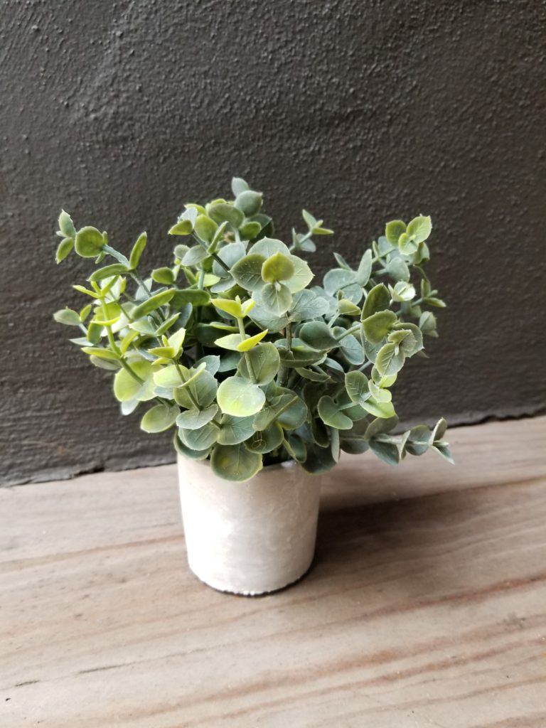 Boxwood Sage in Concrete Pot
